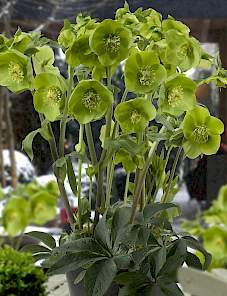 Helleborus or. King™-Green