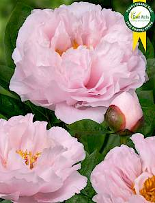 Paeonia-Blushing Princess