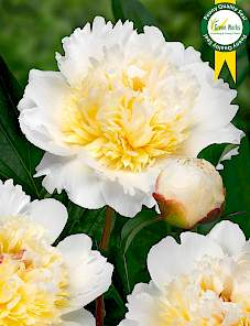 Paeonia-Bridal Grace