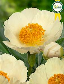 Paeonia-Moonrise