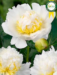 Paeonia-Bride's Dream