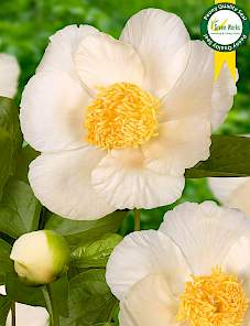 Paeonia-Roy Pehrsons Best Yellow