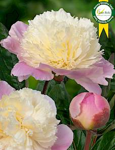 Paeonia-Touch of Class