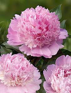 Paeonia-Angel Cheeks