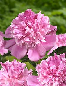 Paeonia-Bouquet Perfect