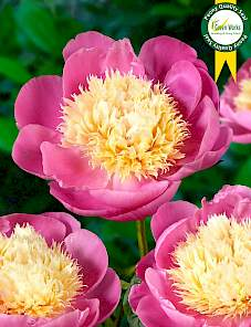 Paeonia-Bowl of Beauty