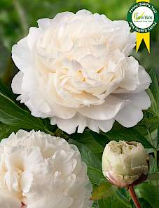 Paeonia-Class Act