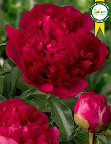 Paeonia-Command Performance