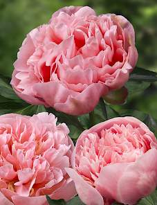 Paeonia-Etched Salmon