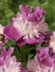 Paeonia-Gay Paree