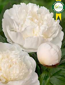Paeonia-Immaculee
