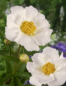 Paeonia-Krinkled White