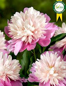 Paeonia-Lady Liberty
