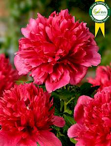 Paeonia-Many Happy Returns