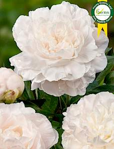 Paeonia-Mother's Choice