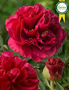 Paeonia-Ole Faithful