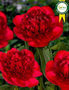 Paeonia-Red Charm