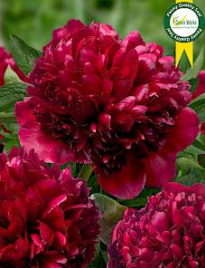 Paeonia-Red Grace