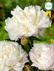 Paeonia-Shirley Temple