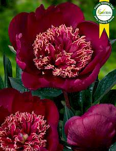 Paeonia-Sword Dance