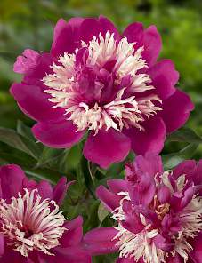 Paeonia-Top Hat