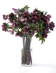 Helleborus or. Queens™-Red