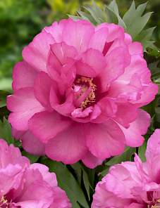 Paeonia Itoh-Julia Rose
