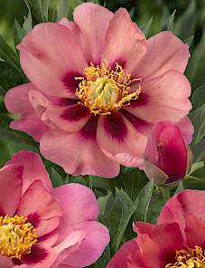 Paeonia Itoh-Old Rose Dandy