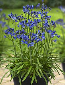 Agapanthus Summer Love™-Blue