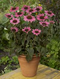 Echinacea Little Magnus • Green Works