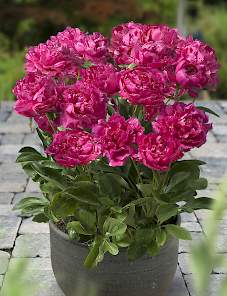 Patio Peony™-London