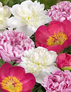 Peony Combination Sweet Candy
