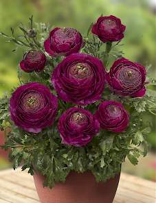Ranunculus Success XXL™-Sherry
