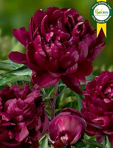 Paeonia-Cherry Hill