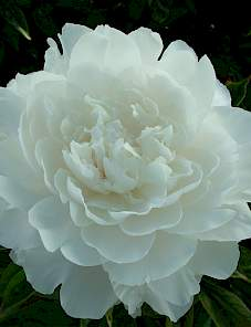 Paeonia-Ivory Victory