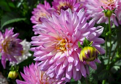 Dahlia XXL Aztec Veracruz voted ''Best Dahlia'' at last years CSU Flower Trials