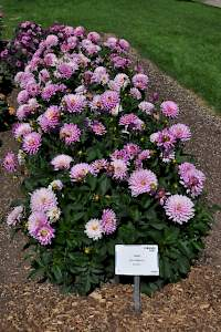 Dahlia XXL Aztec Veracruz at the Colorado State University Flower Trial Garden