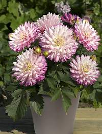 Dahlia XXL Aztec Veracruz | Green Works International