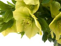 Helleborus orientalis Queens Yellow