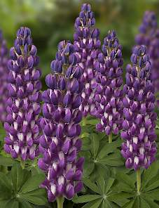 Lupine West Country-Purple Swirl