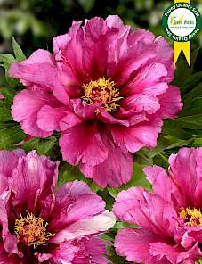 Paeonia Itoh-Morning Lilac