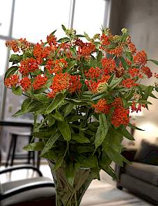 Asclepias tuberosa Red King®-Red King