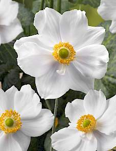 Anemone Summer Shade™-White Attraction