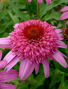 Echinacea-Sunacea Double Action