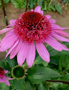 Echinacea-Sunacea Double Attraction