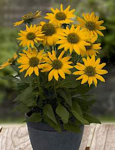 Echinacea-Sunacea Golden Grace