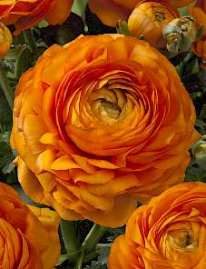 Ranunculus Royal XXL™-Layers of Gold