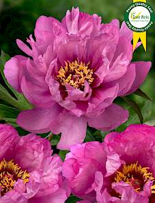 Paeonia itoh-First Arrival