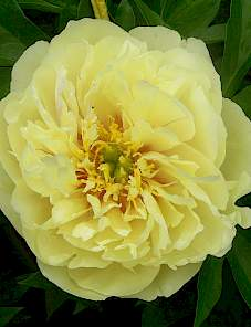 Paeonia Itoh-Lemon Dream