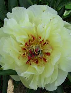 Paeonia Itoh-Yellow Waterlily